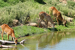 Gazelle Animal Watering Hole Royalty Free Stock Photo - Image: 3173465