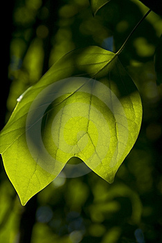 Leaf Royalty Free Stock Image - Image: 3174386