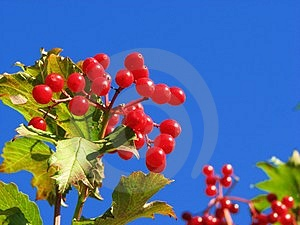 Red Guelder Rose Stock Photo - Image: 3180070
