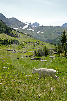 Mountain Goats C Stock Photography - Image: 3187772