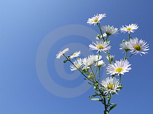 Nice White Flowers Royalty Free Stock Images