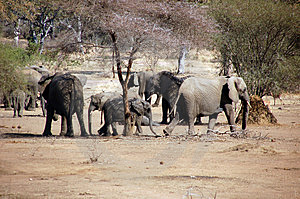 Elephants' Troop Stock Photos - Image: 3191353