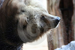 Brown Bear Royalty Free Stock Photo - Image: 320525