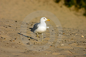 Seagull Stock Image - Image: 321101
