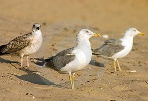 Seagulls Stock Photo - Image: 321120