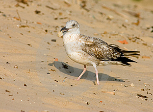 Seagull Royalty Free Stock Photo - Image: 321135