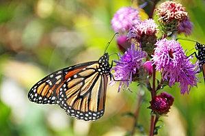Alimentazione della farfalla di monarca Fotografia Stock