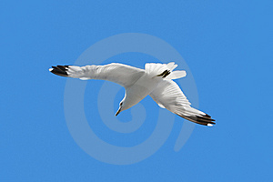 Soaring Seagull Royalty Free Stock Photo - Image: 3231205