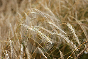 Rye Field. Royalty Free Stock Photo - Image: 3236965