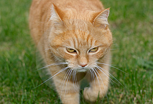 Ginger Cat Stock Photos - Image: 3277353
