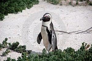 Magellan Penguin Walking Stock Image - Image: 3281321