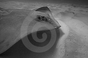 Southern Stingray Stock Photography - Image: 337722