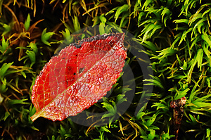 Red Leaf Stock Photo - Image: 3315120