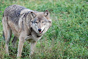 Gray Wolf (Canis lupus) Royalty Free Stock Images