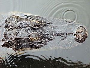 Submerged Alligator Head Royalty Free Stock Image - Image: 3345146