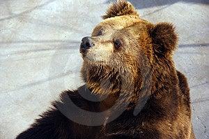 Brown Bear Royalty Free Stock Image - Image: 3347536