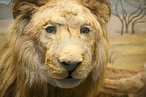 Lion Stock Image - Image: 3348451