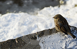 Just Winter Sparrow Royalty Free Stock Photo - Image: 3370065