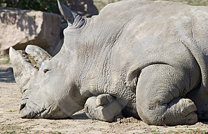 Rhino Horns Royalty Free Stock Image - Image: 3374836