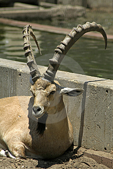 Ibex In Reserve Park Royalty Free Stock Photos - Image: 3383228
