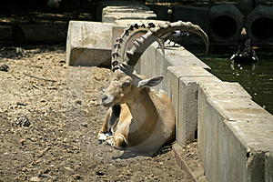Ibex In Reserve Park Stock Photo - Image: 3383480