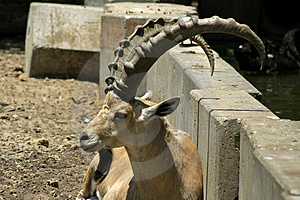 Ibex In Reserve Park Stock Photography - Image: 3383492