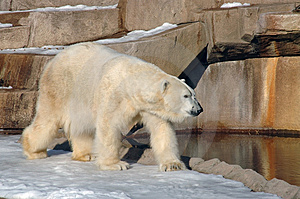Polar Bear Royalty Free Stock Photos - Image: 3384308