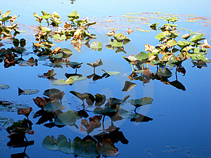Lilly Pads In Sun And Shade Royalty Free Stock Photo - Image: 3397995