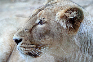 Lion Stock Photos - Image: 3407973