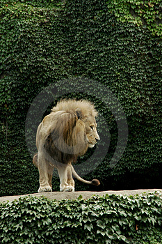 Top Lion Free Stock Photo
