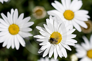 Flower daisy and a bee Stock Photos