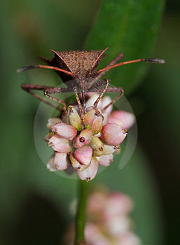 Stink Bug On Flower Royalty Free Stock Image - Image: 3437346