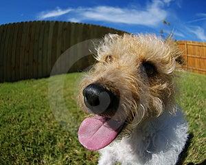 Fisheye Terrier Royalty Free Stock Photo - Image: 3444385