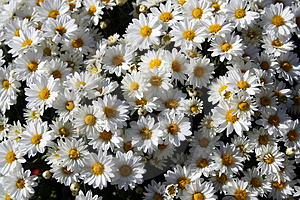 Bunch Of Mums Stock Photo - Image: 3483020