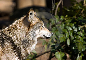 Wolf Royalty Free Stock Photography - Image: 358817