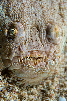 Ugly Looking Fish Royalty Free Stock Photography - Image: 3501237