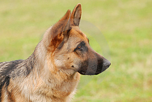 German shepherd dog
