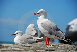 Sea Gulls Stock Photos - Image: 3587303