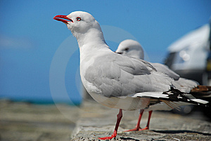 Sea Gulls Royalty Free Stock Photo - Image: 3587305