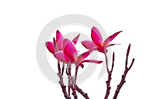 Pink Frangipani, Plumeria, Templetree,Thai flower Royalty Free Stock Images