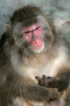 Old Male Ape Stock Image - Image: 3626261