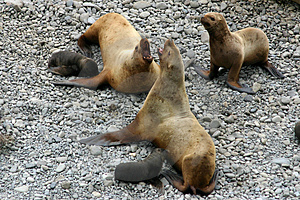 Sea-lion, She Seal And Puppy Stock Photos - Image: 3634893