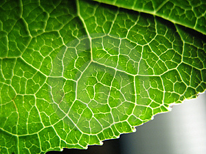 Patterned Leaf Royalty Free Stock Photography