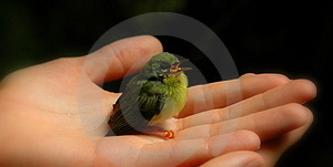 Baby Bird In Hand With Beak Open (color) Royalty Free Stock Photography - Image: 3652617