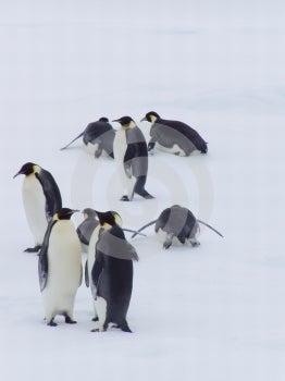 Penguin XXIII Royalty Free Stock Photography