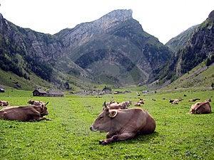 Swiss Cows Stock Image - Image: 3704081