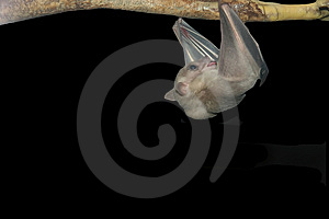 Bat Isolated on Black Royalty Free Stock Photography