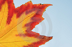 Maple Leave Stock Photo - Image: 3740520