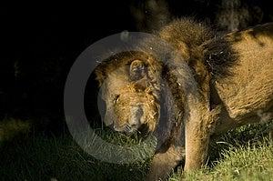 Leeuw Die Zich Aan Schaduw Bewegen Royalty-vrije Stock Foto - Afbeelding: 3746085