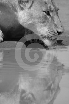 Thirsty Lioness. Stock Photo - Image: 388940